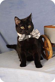 Domestic Shorthair Kitten for adoption in mishawaka, Indiana - Percy