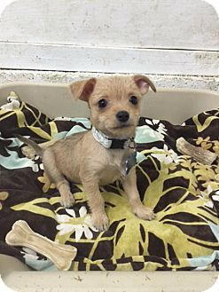 Yorkie, Yorkshire Terrier/Miniature Pinscher Mix Puppy for adoption in Vacaville, California - Amelia