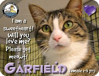 Domestic Shorthair Cat for adoption in Davenport, Iowa - Garfield