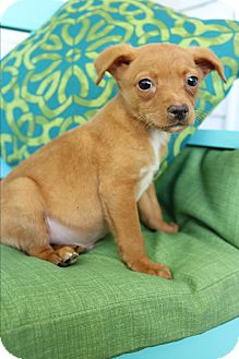 Chihuahua/Dachshund Mix Puppy for adoption in Allentown, Pennsylvania - Ernie