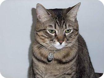 Domestic Shorthair Cat for adoption in Acushnet, Massachusetts - Tigger