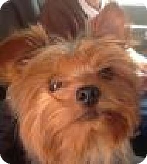 Yorkie, Yorkshire Terrier Mix Dog for adoption in Dallas, Texas - Watson