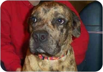 Catahoula Leopard Dog Mix Dog for adoption in Windham, New Hampshire - Hercules
