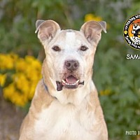 Adopt A Pet :: SAMANTHA - Chandler, AZ