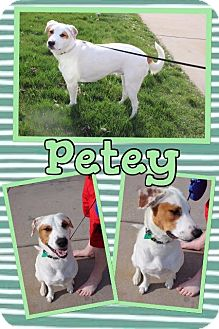 Pointer/Border Collie Mix Dog for adoption in Tomah, Wisconsin - Petey