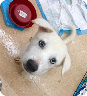 Jindo/Husky Mix Puppy for adoption in Smithtown, New York - Blue