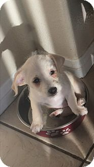 Terrier (Unknown Type, Small) Mix Puppy for adoption in Las Vegas, Nevada - Kalea