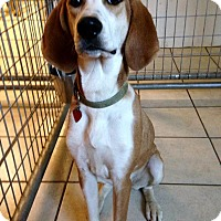 Adopt A Pet :: IVY - Coudersport, PA