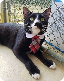 Domestic Shorthair Cat for adoption in Umatilla, Florida - Dean