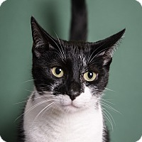 Adopt A Pet :: Sneakers - Whitehall, PA