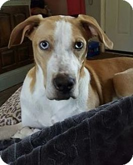 Great Dane Mix Puppy for adoption in South Park, Pennsylvania - Luna