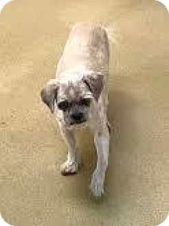 Lhasa Apso Mix Dog for adoption in Miami, Florida - S/C Chewy
