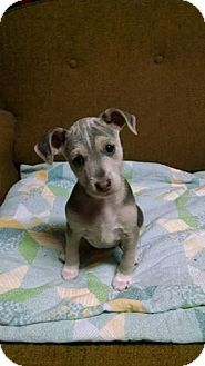 Terrier (Unknown Type, Small) Mix Puppy for adoption in Haggerstown, Maryland - Tia