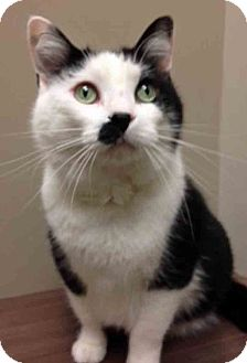 Domestic Shorthair Cat for adoption in Downers Grove, Illinois - Clear the Shelter OswegoBitty
