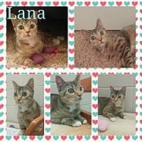Adopt A Pet :: Lana - Arlington/Ft Worth, TX
