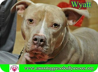 American Staffordshire Terrier Dog for adoption in Pensacola, Florida - Wyatt