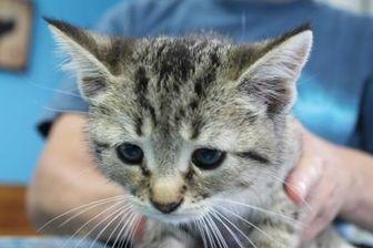 Domestic Shorthair/Domestic Shorthair Mix Cat for adoption in Robinson, Illinois - Basil