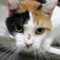 Adopt A Pet :: Heidi - Robinson, IL