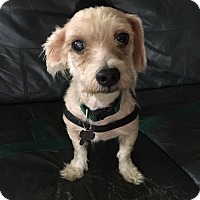 Maltese Mix Dog for adoption in Memphis, Tennessee - Eddie