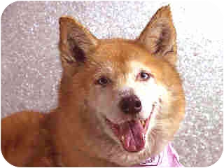 Husky/Belgian Malinois Mix Dog for adoption in New York, New York - Juliet