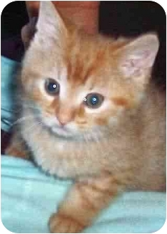 Domestic Shorthair Kitten for adoption in Chapman Mills, Ottawa, Ontario - BAILEY