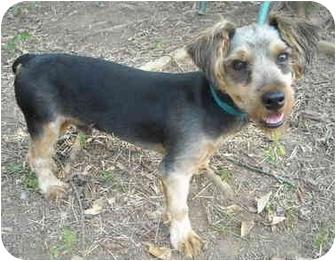 Yorkie, Yorkshire Terrier Mix Dog for adoption in Charleston, Arkansas - Oboo- Yorkie