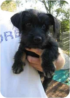 Schnauzer (Miniature)/Terrier (Unknown Type, Small) Mix Dog for adoption in Tracy, California - Lizzy