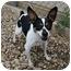 Photo 4 - Fox Terrier (Toy)/Rat Terrier Mix Dog for adoption in Berea, Ohio - Gidget