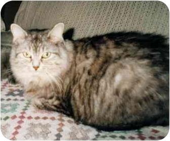 Domestic Longhair Cat for adoption in Toronto, Ontario - Sophie