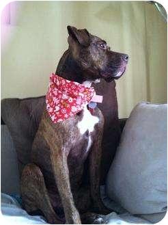 Boxer/Pit Bull Terrier Mix Dog for adoption in Batavia, Ohio - Courtesy:  Mea