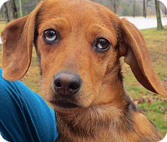 Dachshund/Terrier (Unknown Type, Small) Mix Puppy for adoption in Harrisonburg, Virginia - Paisley