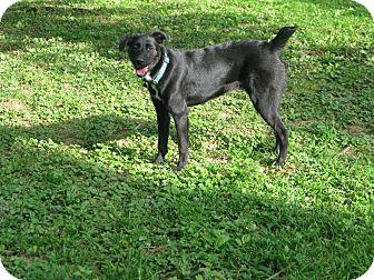 Labrador Retriever/Australian Cattle Dog Mix Dog for adoption in Williston, Vermont - Billie Jo