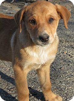 Labrador Retriever Mix Puppy for adoption in Naugatuck, Connecticut - Adelaide