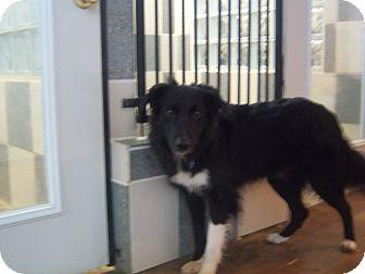 Border Collie Dog for adoption in Yukon, Pennsylvania - Onyx