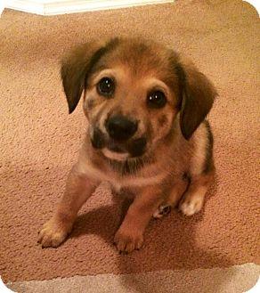 Hound (Unknown Type)/German Shepherd Dog Mix Puppy for adoption in waterbury, Connecticut - GiGi