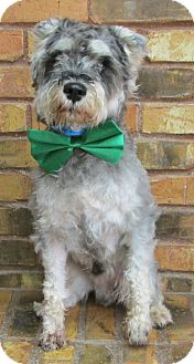 Schnauzer (Miniature) Mix Dog for adoption in Benbrook, Texas - Frisbee