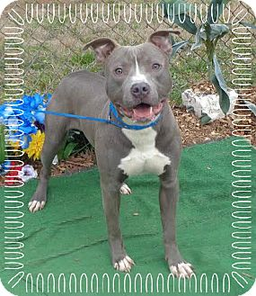 Pit Bull Terrier Mix Dog for adoption in Marietta, Georgia - HARLEY