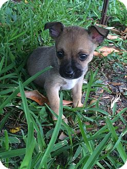 Chihuahua Mix Puppy for adoption in Wellington, Florida - BUSTER BROWN