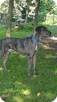 Great Dane Dog for adoption in Baden, Pennsylvania - Sherlock