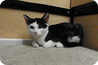 Domestic Shorthair Kitten for adoption in Riverside, California - Penny