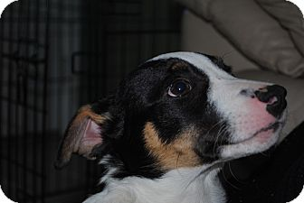 Jack Russell Terrier Mix Puppy for adoption in Elyria, Ohio - Scrambles