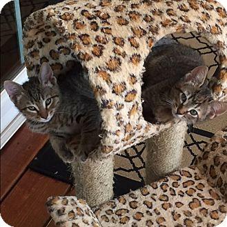 Domestic Shorthair Kitten for adoption in McCormick, South Carolina - Grant