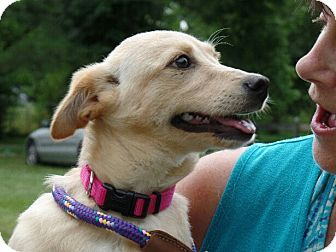 Shiba Inu/Chihuahua Mix Puppy for adoption in Great Falls, Virginia - Marilyn
