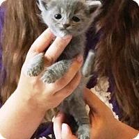 Adopt A Pet :: Ella Cowbelle - Putnam, CT