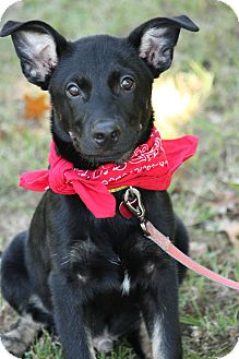 Shepherd (Unknown Type)/Labrador Retriever Mix Puppy for adoption in Cranford, New Jersey - Marty