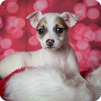 Jack Russell Terrier Mix Puppy for adoption in Plano, Texas - Brooklyn