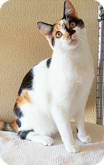 Calico Cat for adoption in Fredericksburg, Texas - Pig