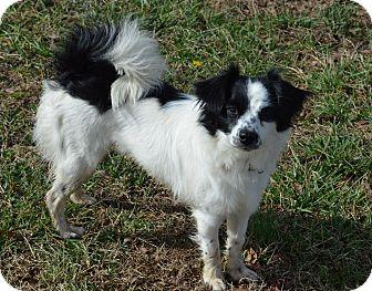 Cavalier King Charles Spaniel/Papillon Mix Puppy for adoption in Westport, Connecticut - Dottie