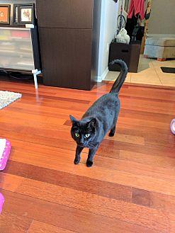Domestic Shorthair Cat for adoption in North Tonawanda, New York - Yaz