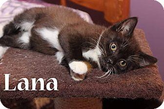 Domestic Shorthair Kitten for adoption in Media, Pennsylvania - Lana